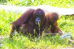 orangutans мати младенца Стоковое фото RF