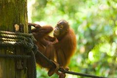 orangutans младенца горизонтальные играют веревочку Стоковая Фотография RF