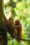 orangutans младенца играют вертикаль веревочки Стоковое фото RF