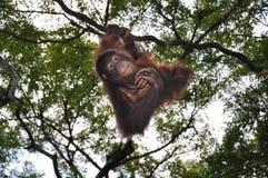 orangutans Royaltyfria Foton