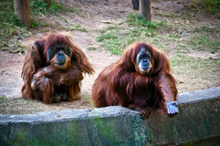 Orangutans . Family orangutans. Female with outstretched hand Stock Photography