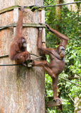 orangutans Стоковое фото RF
