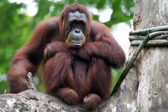 Orangutans Στοκ Φωτογραφίες