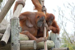 Orangutans Fotografia Stock