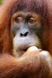 orangutans Стоковое Изображение RF
