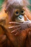 orangutans Стоковые Изображения
