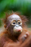 Orangutans Royalty Free Stock Image