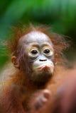 orangutans Arkivfoto