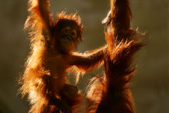 Orangutans Royalty Free Stock Images