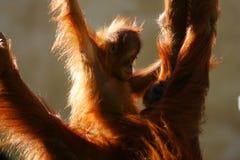 Orangutans Stock Photos