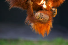 Orangutans. A shot of orangutans playing together Stock Photography