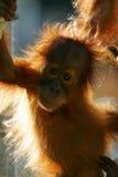 orangutans Стоковое Изображение