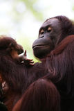 Orangutans Stock Photography