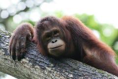 orangutans Стоковые Изображения RF