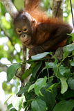 Orangutans Royalty Free Stock Photography