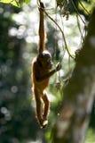 orangutans Стоковые Фото