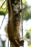 Orangutans Royalty Free Stock Image