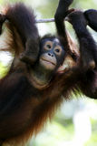 orangutans Στοκ φωτογραφίες με δικαίωμα ελεύθερης χρήσης