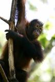 orangutans Στοκ Εικόνα