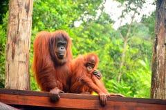 orangutans Lizenzfreie Stockfotografie