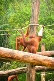 orangutans Lizenzfreies Stockfoto