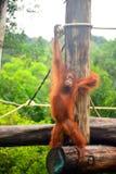orangutans Lizenzfreie Stockfotos