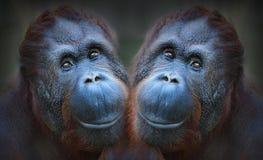 orangutans 2 Стоковая Фотография