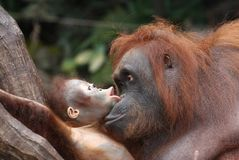 Orangutans. Orang utan mother and baby Stock Image