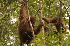 Orangutans, Borneo, Sarawak Stock Photo