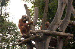 Orangutans. Expressive Orangutans at a Zoo royalty free stock photography