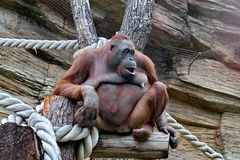 Orangutans Malayan orang hutan-`forest man`, Lat. Pongo - the genus of tree anthropoid apes. One of the most closely related to human homology DNA. They live stock photo