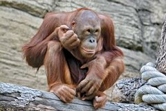 Orangutans Malayan orang hutan-`forest man`, Lat. Pongo - the genus of tree anthropoid apes. One of the most closely related to human homology DNA. They live stock photography