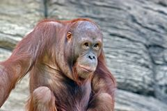 Orangutans Malayan orang hutan-`forest man`, Lat. Pongo - the genus of tree anthropoid apes. One of the most closely related to human homology DNA. They live stock image
