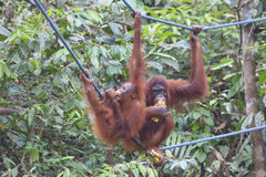 Orangutans mother and baby Royalty Free Stock Photos