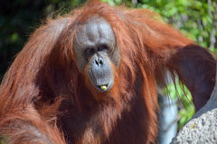 The orangutans Stock Image