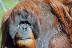 The orangutans Royalty Free Stock Images