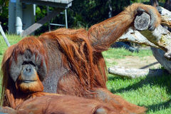 The orangutans. Orang-utan, orangutang, or orang-utang) are the two exclusively Asian species of extant great apes. Native to Indonesia and Malaysia in the stock photo