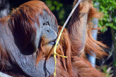 The orangutans Royalty Free Stock Photography