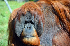 The orangutans Stock Photos
