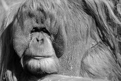 The orangutans Royalty Free Stock Photo
