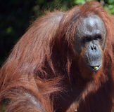 The orangutans. Orang-utan, orangutang, or orang-utang are the two exclusively Asian species of extant great apes. Native to Indonesia and Malaysia in the stock photography