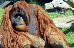 The orangutans. Orang-utan, orangutang, or orang-utang are the two exclusively Asian species of extant great apes. Native to Indonesia and Malaysia in the royalty free stock image