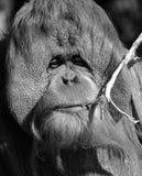 The orangutans stock photography