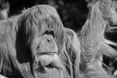 The orangutans. Orang-utan, orangutang, or orang-utang are the two exclusively Asian species of extant great apes. Native to Indonesia and Malaysia in the stock photo