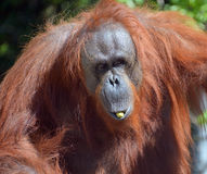 The orangutans. Orang-utan, orangutang, or orang-utang are the two exclusively Asian species of extant great apes. Native to Indonesia and Malaysia in the royalty free stock photo