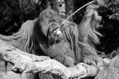 The orangutans. Orang-utan, orangutang, or orang-utang are the two exclusively Asian species of extant great apes. Native to Indonesia and Malaysia in the stock images