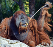 The orangutans. Orang-utan, orangutang, or orang-utang are the two exclusively Asian species of extant great apes. Native to Indonesia and Malaysia in the royalty free stock photography