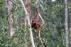 Orangutans. Orangutan in rain forest / indonesia Royalty Free Stock Photography