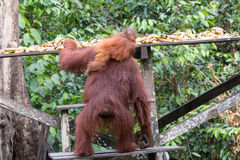 Orangutans. Orangutan in rain forest / indonesia Royalty Free Stock Images