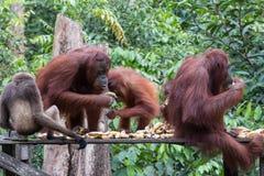 Orangutans. Orangutan in rain forest / indonesia Stock Photography